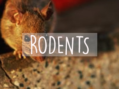 Extermination Mice, Rats and Rodents  Greater Montreal (514