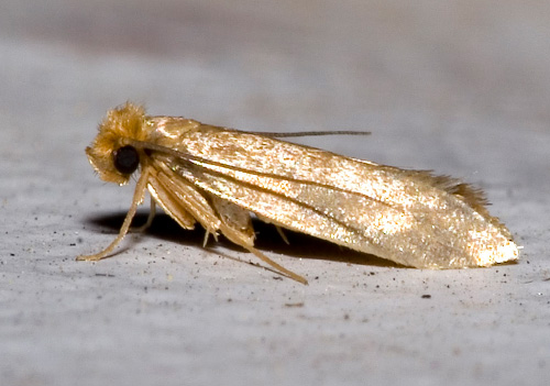 clothing moth