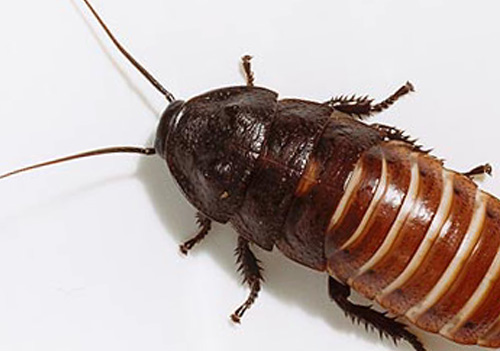 Insects Ants Bedbugs Extermination Call Us 514 321 7867