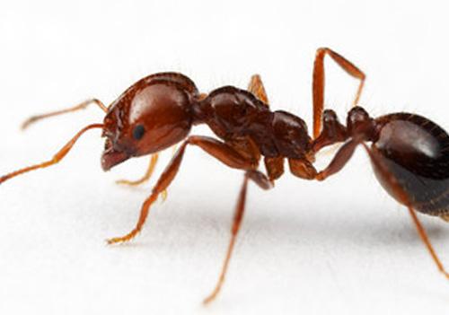 pharao ants