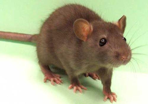 Rats Rodents   West Island   L'Ex-TerminateurJM