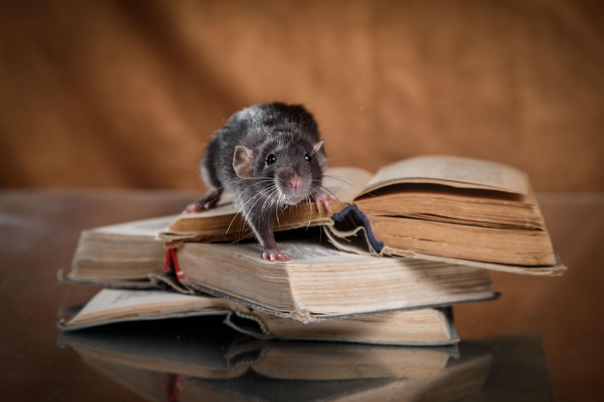 Extermination Souris Montreal | Extermination rats