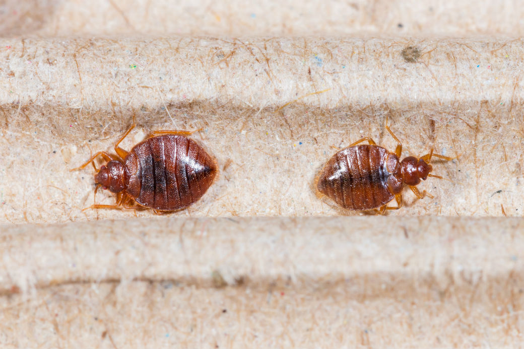Extermination Bed Bugs | Lex-TerminationJM